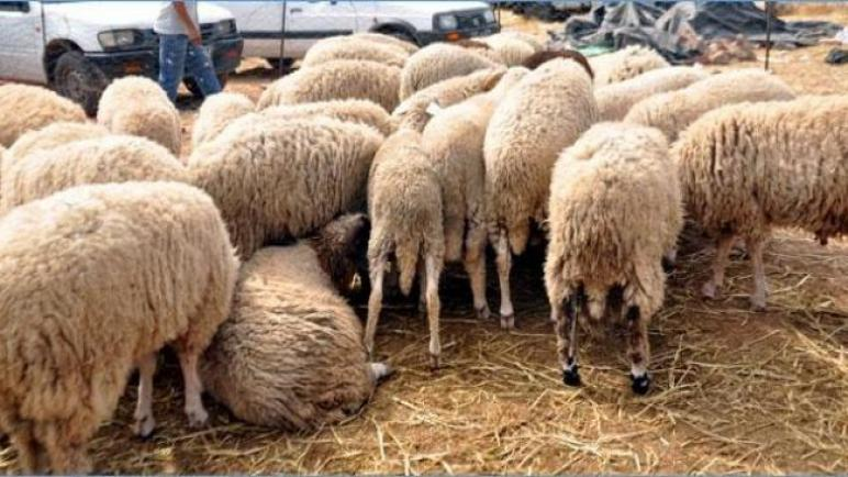توفّر 1 مليون و500 ألف خروف قبل العيد..وهذه الأسعار المطروحة