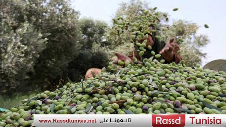 بن عروس: مؤشرات واعدة لصابة الزيتون والتقديرات الأولية للإنتاج تتجاوز 20 ألف طنا